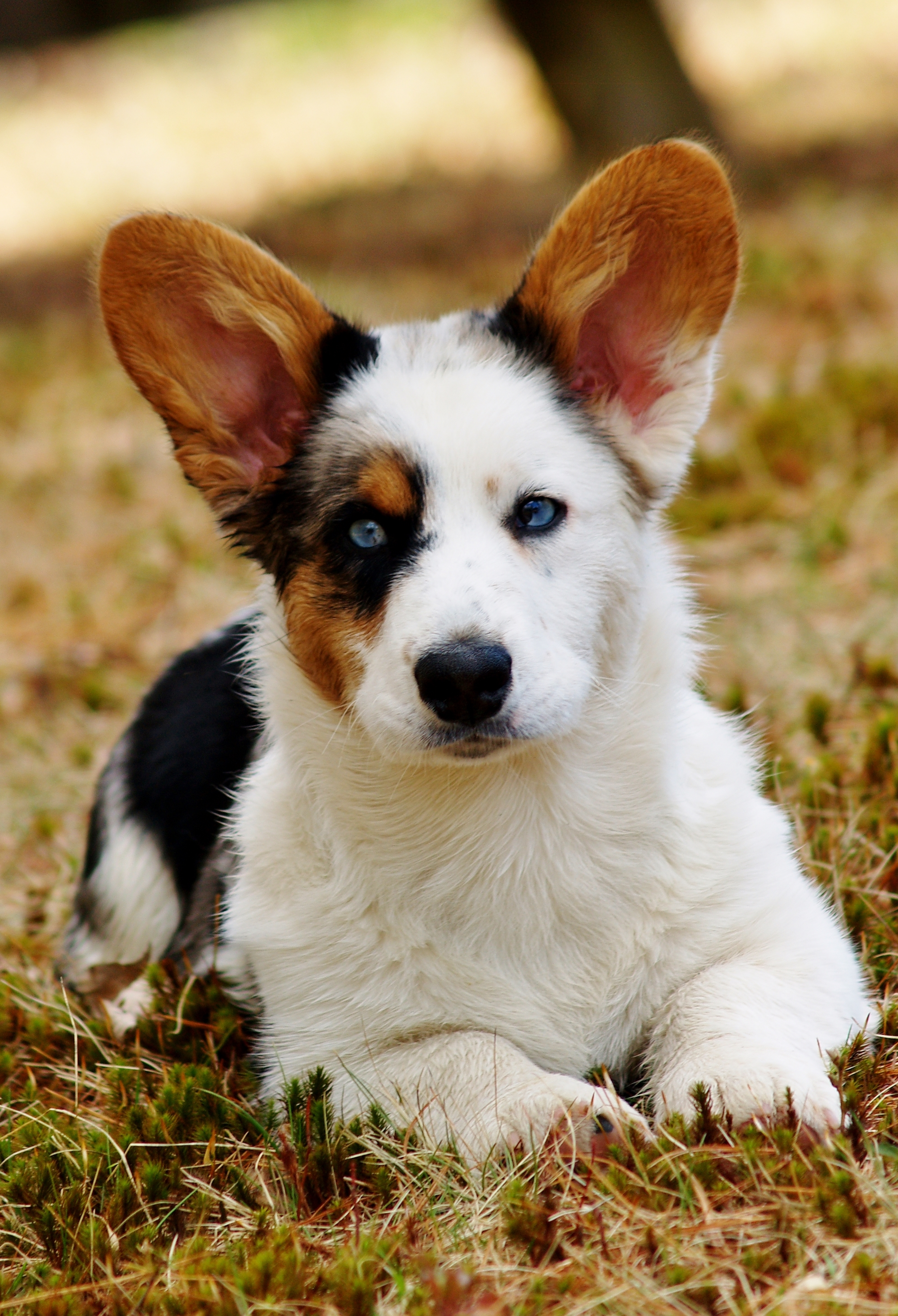welsh corgi Pembroke welsh corgis: the most honest dog breed review you'll ever find about  pembroke welsh corgi temperament, personality, and behavior.